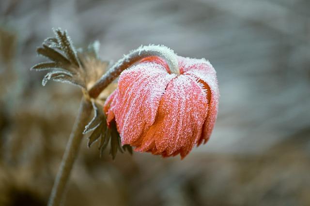 zmrzlá květina